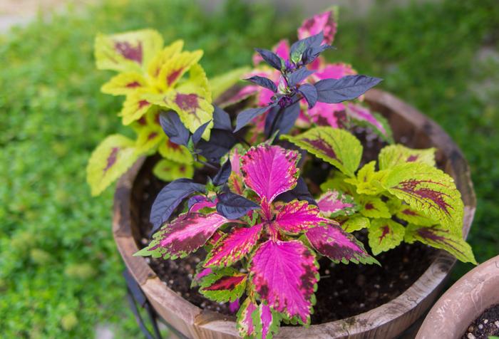 カラーリーフは、葉に特徴のある植物の総称。成長過程や季節で葉が色とりどりに変わり、年中観賞できるのが魅力で、インテリア性の高さから寄せ植えなどにも好まれています。種類によっては日陰で育つのもうれしい点。いろいろなカラーリーフを寄せ植えして、色の違いを楽しむのもおすすめです。
