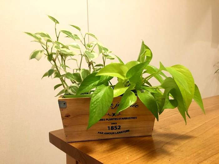 こちらは、人気のポトスとペペロミアの寄せ植え。小さな苗から育てるのは、成長が見られて楽しいですね。