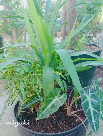 観葉植物というと、室内で育てるイメージが強いかもしれませんが、ベランダなど屋外で育てることもできます。ただし、それには条件が…。観葉植物の多くは熱帯植物なので夏は得意なのですが、そのなかでもできるだけ日差しに強い植物を選ぶことや、よしずなどを活用しながら涼しい環境を作ることが大切です。