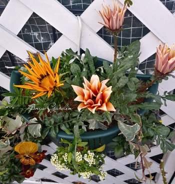 観葉植物同士の寄せ植えのほか、観葉植物を花とともに寄せ植えするのもおすすめです。こちらは、ガザニアやアリッサムなどのお花に、観葉植物のアイビーを合わせています。