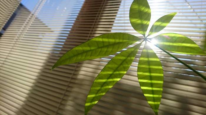 たとえば、代表的な観葉植物であるパキラには、その背の高さを生かすために、背が低く、横に伸びたり下に垂れる植物を合わせるのがポイント。ワイヤープランツやポトス、子株を垂らす姿が可愛らしいオリヅルランなどがおすすめです。