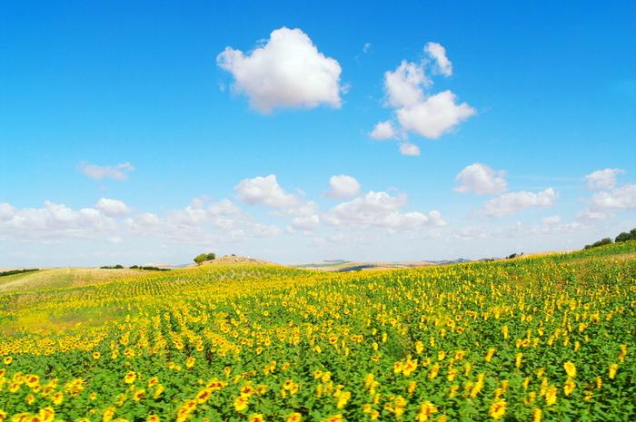一面のひまわり畑に心踊る幸せな時間を過ごせるのは、スペインのアンダルシア地方。日本と違い、夏の気温が40度を超え雨が少ないこの地方にひまわりが咲くのは、5月末~6月のわずかな時間です。