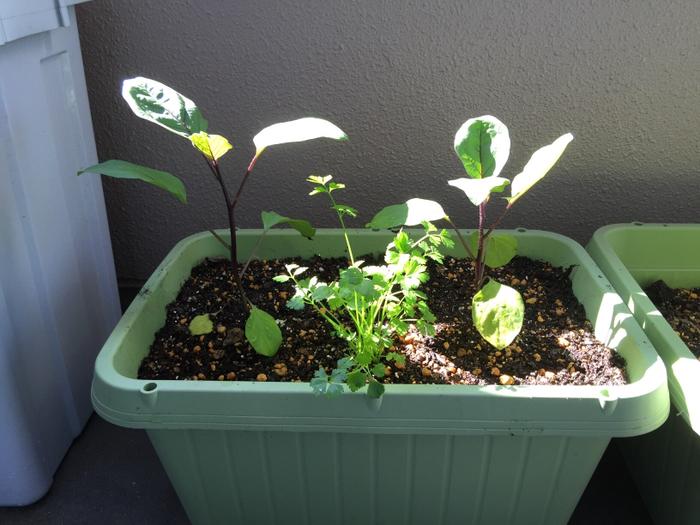 ナスは高温や日光を好む野菜です。さすが夏野菜といったところですね。綺麗な茄子色に色付かせるためにも、たっぷりと日の光に当ててあげましょう。その点さえ守れば、ベランダでプランターを使った栽培方法でも、じゅうぶんに育てることができます。