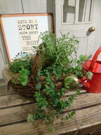 バースデーや記念日のお祝いに、バスケット入りの観葉植物の寄せ植えを贈るのもいいアイデア。ハンドルつきのかごなら、置き場所の移動も手軽にできますね。