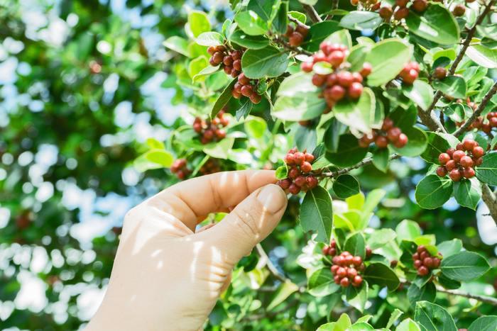 コーヒー豆は、おおよそ北緯25度から南緯25度までの間、通称「コーヒーベルト」と呼ばれるエリア内にある約70ヵ国で生産されています。このコーヒー産地はさらに4つのエリアにおおまかに分けることができ、どの大陸のどの国で生産されたかによって少しずつ味わいが変わるため、それぞれ煎り方や飲み方が変わってきます。