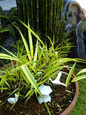 こんな植物も和風のアプローチに合うかも。風知草(フウチソウ)という山野草で、ボリュームのある葉が春から夏に向かって涼しげな印象をもたらしてくれるそうです。