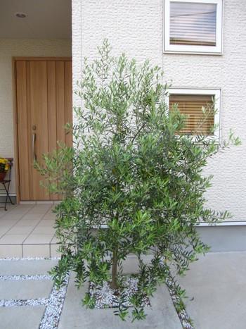 玄関先におうちの顔になる樹木「シンボルツリー」を植えるのも素敵なアイデア。写真は、オリーブの木。虫も付きにくく、シンボルツリーとしてとても人気です。