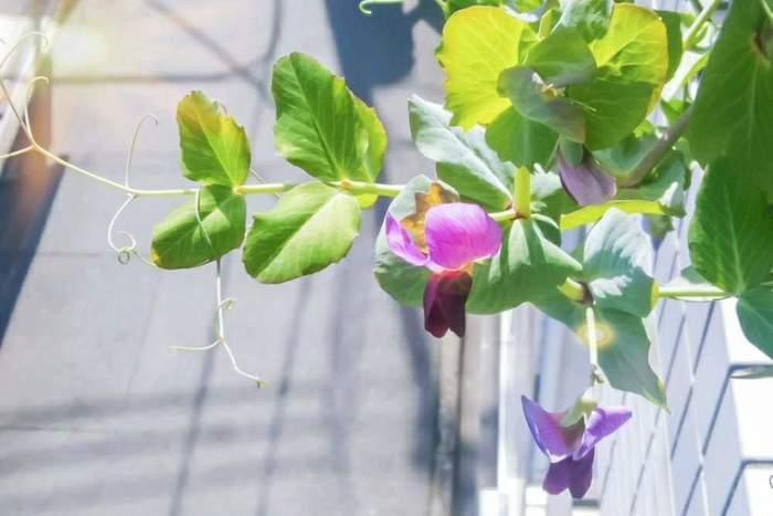 豆苗を土で育てていくと、やがてつるが出てきて、緑豊かな植物としても楽しめます。春が深まるにつれてぐんぐん伸び、可愛らしい花が咲きます。