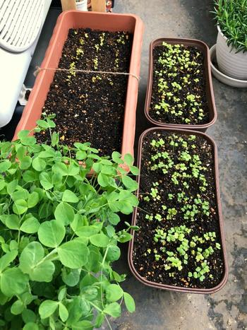 豆苗は、水耕栽培が一般的ですが、プランターで土栽培することもできます。豆苗を食べたあとの根の部分を土に植えておくと、水耕と同じように葉が出てくるそうです。いまからの時期は、育ちやすいようですよ。