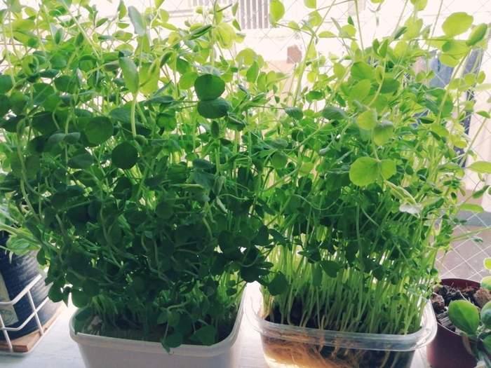豆苗の水耕栽培をする容器は、タッパーをはじめ、ペットボトルや牛乳パックでもいいですね。ペットボトルなどは、横に寝かせて上の部分を四角く切り抜くと、横に広くて使いやすいようです。
