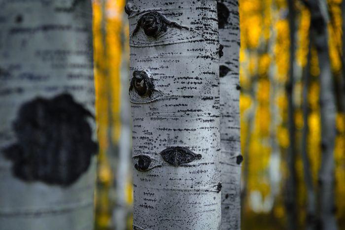 白樺は材質としてはやわらかいため、木材として使うのは難しいのだそう。けれど、樹皮や樹液には魅力がいっぱい。さらに、やわらかい材質は、民芸品や雑貨作りにぴったりです。まずは、数ある白樺の魅力をご紹介します。