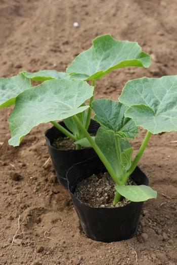 ホームセンターや園芸店でポット売りされているきゅうりの苗には、種から育てた「実生苗」と、他の野菜の苗にキュウリの苗を接木した「接ぎ木苗」があります。接ぎ木苗は少し割高ですが、病気に強く丈夫で育てやすいのが特徴です。家庭菜園の初心者なら、この接ぎ木をプランターに移植栽培するのが簡単で確実です。