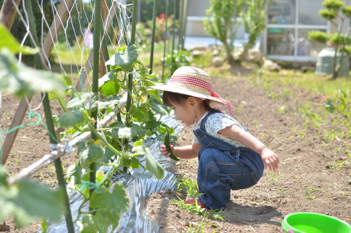 きゅうりは花が咲き始めてから実が大きくなるまでが早く、収穫に適したサイズになるまであっという間です。食べ頃は20cm前後ですが、最盛期になると1日に5センチ以上成長するので朝夕のチェックは欠かせません。上手に育った株は多くて40本ほど収穫することができます。時期をずらして複数植えれば、初夏から秋口まで美味しいきゅうりが楽しめますよ。