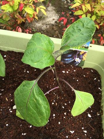立派なナスに育てるには、かなりの量の肥料が必要になります。実らせるだけでもひと苦労なので、初心者の方は苗を買って植え付けるのが手軽でおすすめです。 プランターで育てる場合は、野菜専用の腐葉土を使えばそれ以外の元肥は必要ないので手軽です。水はけをよくするために、底面に鉢底土や軽石などを入れるとよいでしょう。