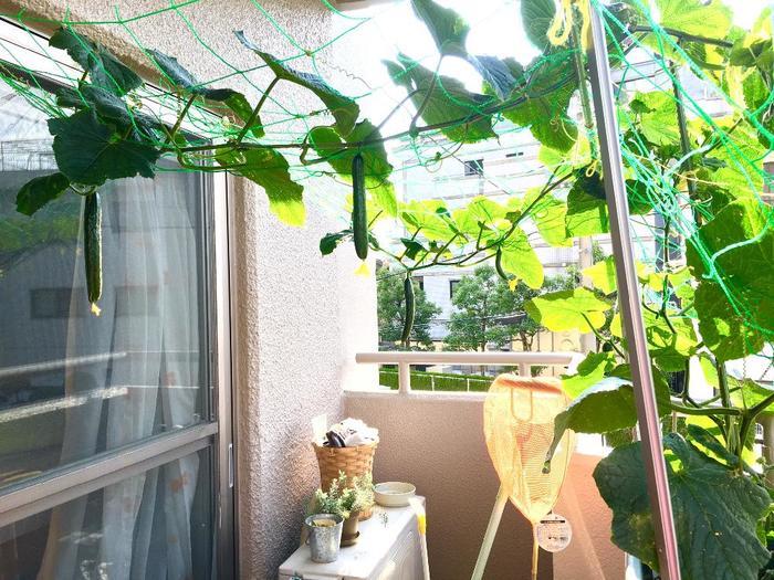 夏の陽射しを遮る涼しげなグリーンカーテンといえばゴーヤがお馴染みですが、病害虫や暑さに強いきゅうりも、つるをうまく誘引してあげると立派なグリーンカーテンの役割を果たしてくれます。せっかく実がなってもゴーヤはたくさん食べられない、という方は、きゅうりでチャレンジしてみてもいいかもしれませんね。
