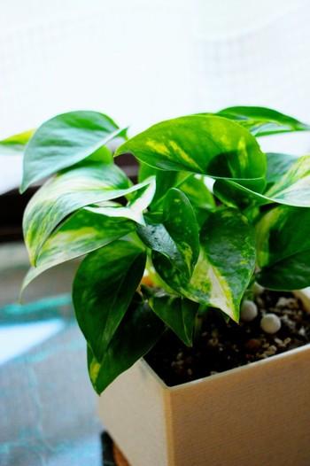 やわらかいスポンジワイプは、観葉植物の葉っぱの水拭きに最適。1枚1枚丁寧に拭き上げれば、緑も一層鮮やかになりますよ。スポンジワイプならホコリもしっかり拭き取れて、植物への負担も少なくて済みます。
