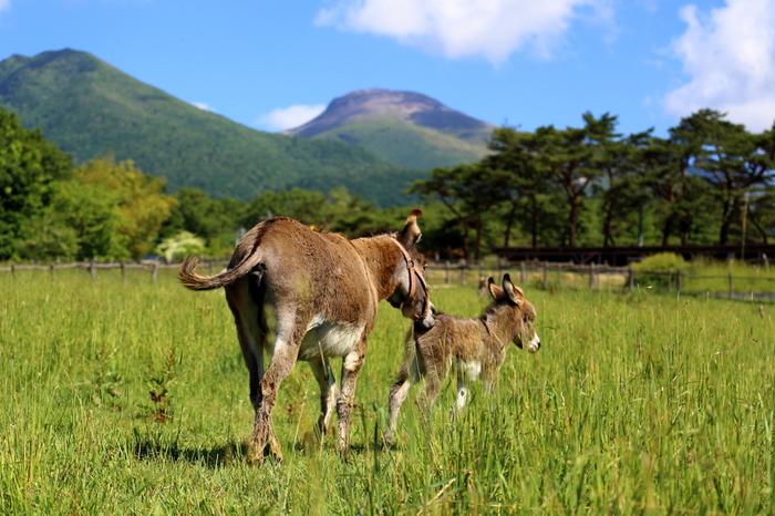 牧場からは雄大な那須連山を眺めることができ、景色を眺めているだけでも、心ほっこり癒されます。ここでは、乗馬は勿論、ロバにも乗ることも出来るんだとか!