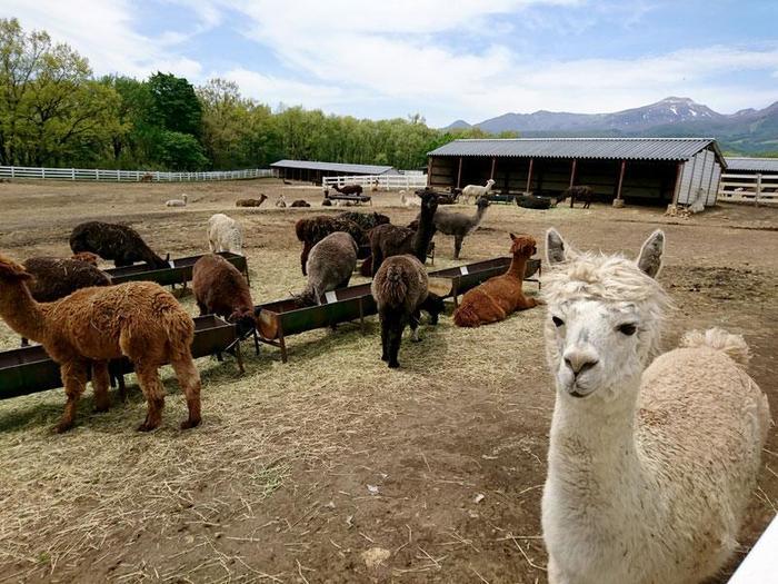 日本で初めてのアルパカ牧場として誕生した「那須アルパカ牧場」。那須連山を望む雄大な景色の中、のんびりと暮らす約400頭のアルパカ達が、私達を迎えてくれます。 どこか人なつっこくて可愛らしい表情のアルパカの姿に癒されながら、楽しいひとときを過ごしてみては!牧場内にある、ふれあい広場やお散歩広場では、アルパカ達と直接触れ合うことができ、リードを持って一緒にお散歩してみると、より一層愛らしいアルパカの魅力を感じることが出来ます。