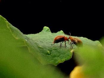 きゅうりにつきやすい害虫の代表はアブラムシとウリハムシです。アブラムシは新芽や葉などの汁を吸って株を弱らせてしまうので、粘着テープで捕殺したり専用の薬剤を使って除去します。ウリハムシは、幼虫の間は根を食害し、成虫は葉や果実を食べて穴をあけます。除去にはマラソン乳剤が効果を発揮しますが、銀色のキラキラ光るものを嫌う性質を利用して、アルミシートを敷いて成虫の飛来を防ぐ方法もあります。