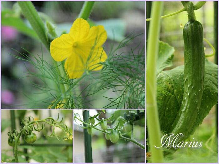 栽培初期から成長が良く、夏の暑さにも特に強いのが特徴。長期間に渡り、形の良い実が安定してたくさん収穫できる品種です。べと病・うどんこ病・褐斑病に強いため、薬剤散布も少なくて済みます。