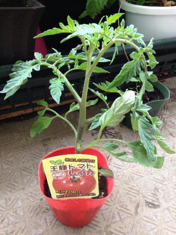 苗は、緑色が濃く、黄色い部分や虫食いがないものを選びます。また、茎がまっすぐで、節の間がつまっているのも重要ポイント。そして、花や蕾が付いていたり、双葉が残っているものだとさらに理想的だとか。