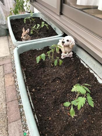 そして、プランターの土に苗の根が入るくらいの大きさの穴をあけて、苗の根の土をくずさないように植えます。苗が倒れないように苗の根元に土を寄せ、軽く押さえます。植え終わったら、鉢底から水が流れ出るまでたっぷりと水をあげましょう。