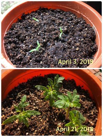 トマトの種は20℃にならないと発芽しないので、室内で管理しを。昼間は日光を当て、そのあとは暗い環境を作ります。また、土が乾かないように水を静かに与え、一段目の花芽が出たら定植します。