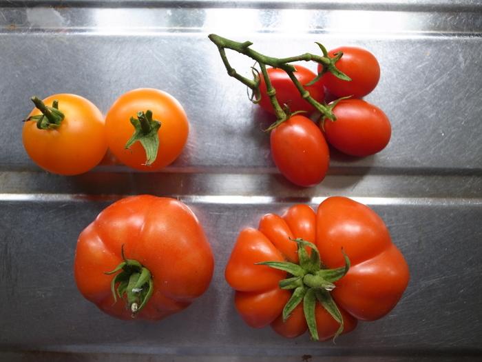 加熱用の大玉トマト、ロッソロッソ。果肉がかためで加熱してもくずれにくく、炒め物などにも適しています。写真の手前の大きなトマトですね。ひだが入ったようなユニークなフォルムも印象的です。