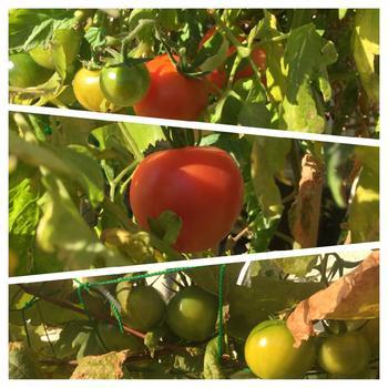 ピンポン玉ほどの大きさになる中玉種。鮮やかな赤色が特徴で、収穫量も多いことから人気での品種です。糖度が高く、コクのあるおいしさ。高糖度のトマトは、生食に向いています。