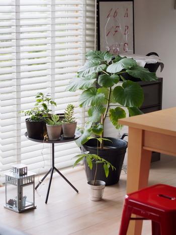 大きな鉢植えを主役に、小さな鉢植えをランダムに並べています。身を寄せ合うようにテーブルに集められた、小さな鉢植えが可愛らしいですね。
