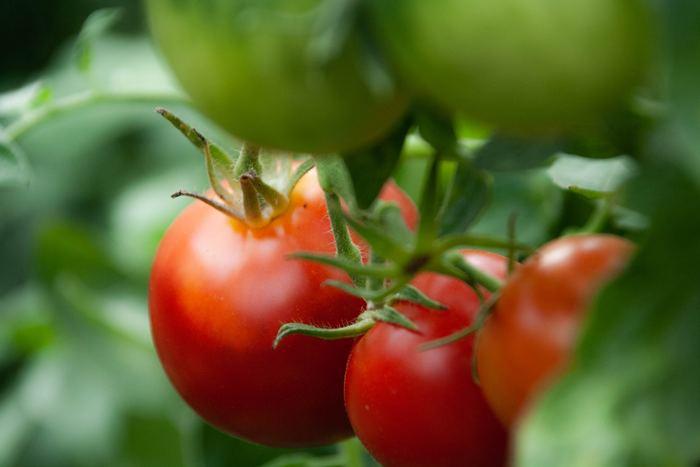 トマトの家庭菜園には、市民農園などの畑を借りて栽培する方法と、自宅のベランダなどにプランターを置いて栽培する方法があります。どちらでも実をつけて収穫することは可能ですが、より手軽に始められるプランター栽培の方が初心者さんにはおすすめですよ。