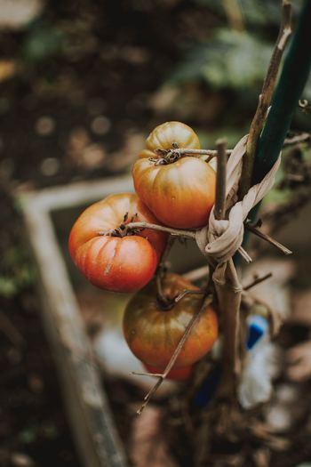 葉の色が色あせて黄色くなってしまったり、枯れてしまったりしたときは肥料が足りないことによる栄養不足の可能性があります。 実の先端部分が褐色になってきたり、陥没したりなどしたときは、すぐに発症した実を取り《追肥》を行います。液体肥料の方が即効性があるのでおすすめです。