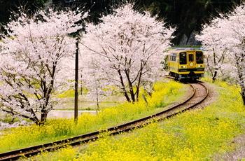 春のいすみ鉄道は菜の花(3月中旬~4月中旬)と桜(3月下旬~4月上旬)の競演が楽しめる最も華やかな季節。