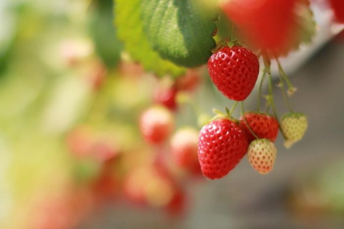 道の駅「あずの里いちはら」に隣接する「安藤いちご園」では章姫・紅ほっぺ・とちおとめの3種類のイチゴを味わえます。イチゴはすべて水耕栽培で、腰の高さほどの棚上で栽培されているため、いちご狩りも楽ちんです。