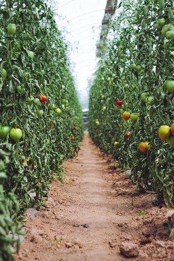 トマトは、地域にもよりますが一般的に4〜5月に苗を植えるのがおすすめです。その時期に苗を植えると、7〜8月には収穫ができます。植付けから収穫までの期間が短いため害虫や病気になってしまうリスクが少ない野菜です。