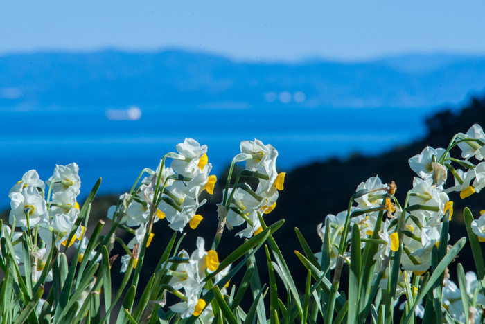 福井県の越前海岸、千葉県の鋸南町、そして淡路島が、日本三大水仙群生地と言われています。淡路島の南側にある、南あわじ市の灘黒岩水仙郷と洲本市の立川水仙郷は、海の青と水仙の黄色が美しく映える絶景の名所です。可憐な花の水仙も、これだけ咲き誇ると壮観のひと言です。