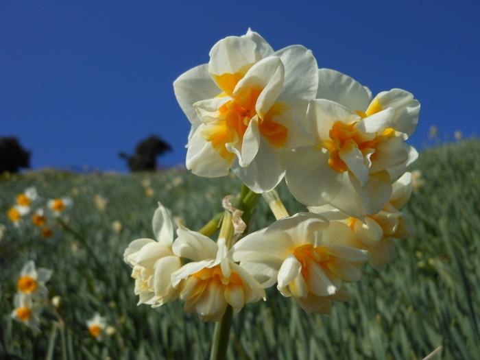 こんなふうにちょっと珍しい種類の水仙も。澄んだ空気のなかで、水仙の香りをいっぱいに味わえるのは、冬~春の時期だけ、ここならではの幸せです。