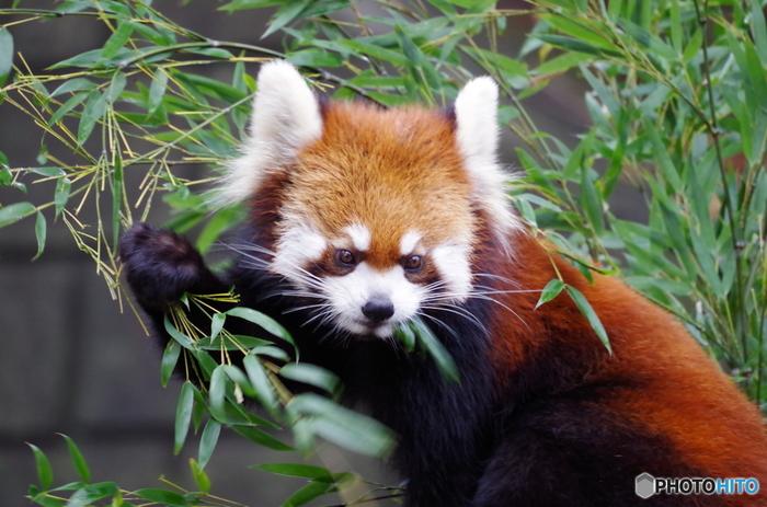 野毛山動物園で一番人気の動物は、レッサーパンダ。間近で見られるので、かわいいレッサーパンダたちが木の上で寝る様子や笹の葉を食べる様子をじっくり観察できます。