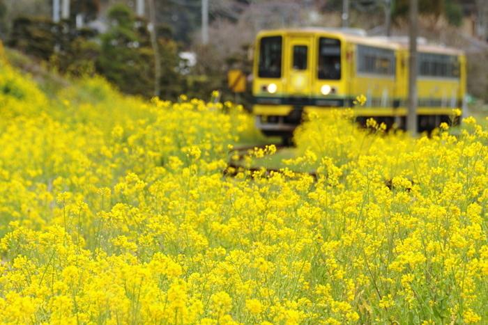 特に菜の花は全線26.8kmのうち約15kmに渡って開花するので、ほとんどの区間で楽しむことができます。