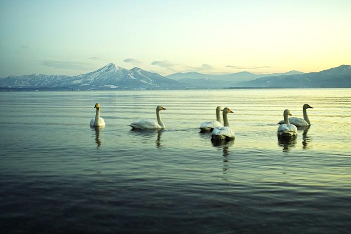 冬の猪苗代湖といえば、白鳥の飛来が有名ですね。毎年10月上旬頃から翌年4月上旬頃までシベリアから約3,000羽以上の白鳥が飛来し、天然記念物にも指定されています。雪の冠をかぶった山々をバックにのんびり羽を休める姿は、福島の冬の風物詩。