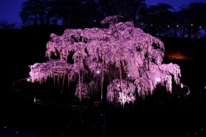 開花は、例年4月中旬から下旬頃。日中の桜も魅力的ですが、ライトアップされた夜もおすすめ。朝と夕方の2度見てほしい桜です。