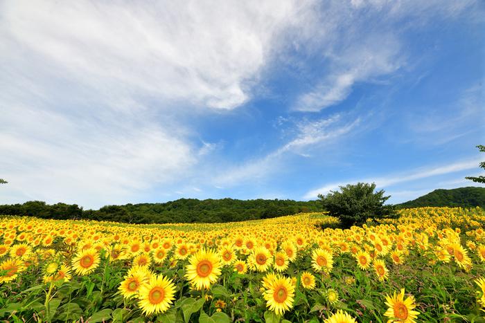 喜多方市の三ノ倉スキー場のゲレンデいっぱいに広がるひまわり畑。震災復興を祈願して、2013年から毎年植えるようになったそうです。その数、なんと250万本。夏の太陽を見上げるように元気いっぱいに咲く姿を見ると、気持ちが明るくなりますね。見ごろは、8月上旬~9月上旬です。