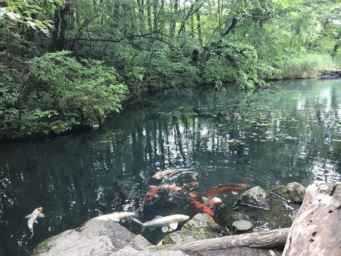 色の変化は、天候や季節、見る角度、水中に含まれる火山性物質などによるものと言われています。エメラルドグリーンやコバルトブルー、ターコイズブルー、エメラルドブルー、パステルブルーなど湖沼によってさまざま。また、池によっては鯉が泳いでいる場所も。
