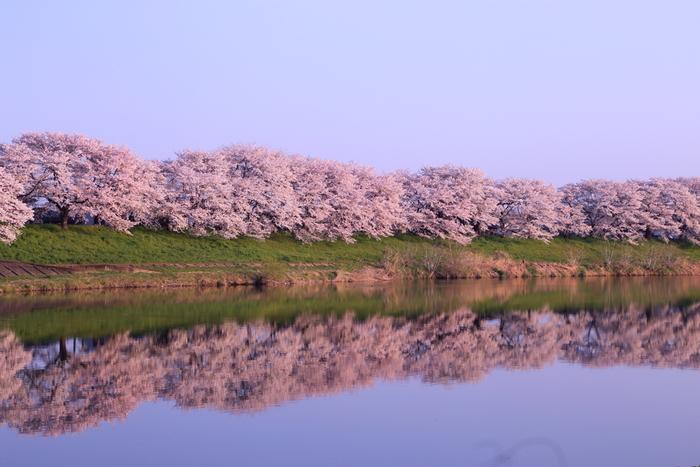 1923年(大正12年)に、白石川のある大河原町の実業家・高山開治郎氏が故郷のためにと1,000余りの桜の苗木を寄贈したことが始まりとされ、白石川沿いに植樹して大切に育ててきました。川面が桜色に染まり、毎年春の訪れを告げてくれます。