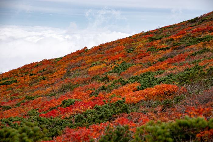 """多くの山を有する東北地方の中でも、特に紅葉が美しいと言われているのが「栗駒山」。秋田・岩手・宮城の3県にまたがる標高1,626mの山で、9月下旬から10月頃になると美しい紅葉を一目見ようと全国から多くの人々が訪れます。赤や黄色、褐色の葉の紅葉が同時に進み、まさに""""錦秋""""という言葉がぴったりで""""日本一の紅葉""""と称されています。"""