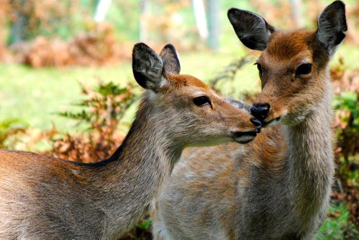 島のあちこちには野生の鹿が生息しています。「神鹿慰労祭」や「神鹿角切り行事祭」といった神事も行われていて、御神鹿として大切にされています。人にも慣れていて、すぐそばで愛らしい表情を見せてくれますよ。
