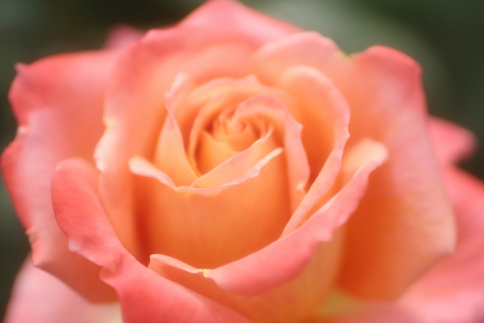 """コーラル(coral)とは英語で""""珊瑚""""という意味。 ピンクとオレンジを混ぜたような中間的な色味で、可愛らしさと大人っぽさを兼ね備えた上品なカラーです。"""