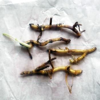ミョウガは、地下茎(球根)を買ってきて植えつけます。(写真が「地下茎」)これがにょきにょきと伸びてつぼみをつけます。 ホームセンターや園芸ショップ、近ごろは100円ショップなどでも手に入れることができますよ。 2~4月の春の時期に植え付けましょう。