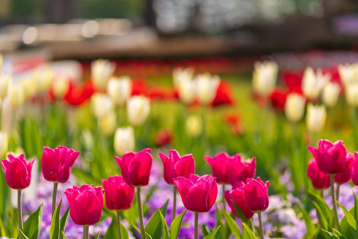 仙台市と山形市のほぼ真ん中にある「国営みちのく杜の湖畔公園」は、広大な敷地にたくさんの花や木が植えられていて、1年中楽しむことができます。中でもおすすめなのが春。やわらかな陽射しのもとで咲くチューリップや菜の花に心癒されます。毎年GWには花のフェスティバルなどのイベントも開催されていますよ。