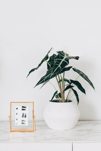 初めてのインテリアグリーンを買うときは、どれがいいか迷いますよね。お部屋のポイントにもなる、大きすぎず小さすぎない、中型のものが扱いやすいでしょう。 スツールやテレビボードの上に飾ってもいいですし、床にそのまま置いてもほどほどの大きさで存在感も◎。アンスリウムやモンステラ、ドラセナが人気です。